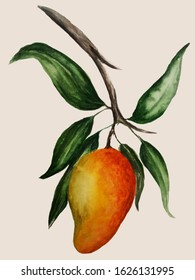 Watercolor illustration of mango on a branch on a light background