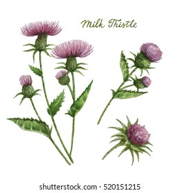 Watercolor illustration of milk Thistle. Healing Herbs for design Natural Cosmetics, aromatherapy, medicine, health products and homeopathy.