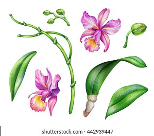 watercolor illustration, orchid flowers, floral design elements set, isolated on white background