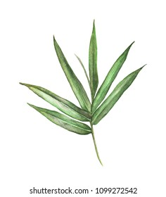 Watercolor illustration painting of bamboo leaves isolated on white background