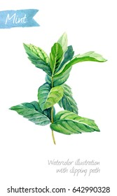 Watercolor illustration of peppermint plant isolated on white background with clipping path included