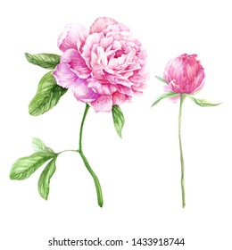 watercolor illustration with pink peonies