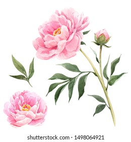 Watercolor illustration of a pink peony flower on a white background.