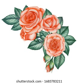 Watercolor illustration pink rose with green leaves on an isolated white background. Hand-painted flower composition.