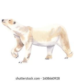 Watercolor illustration of polar arctic animal: polar bear Watercolor hand drawn hand painted clip art