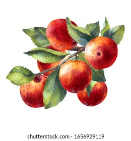 Watercolor illustration of red apples on a branch. Green leaves and red fruits on an isolated white background. Hand-painted.