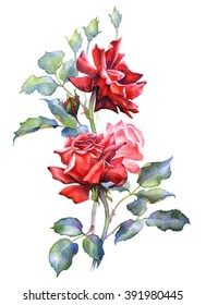 Watercolor illustration. Red rose bouquet. Tree roses. Beautiful texture. Botanical painting isolated on white background
