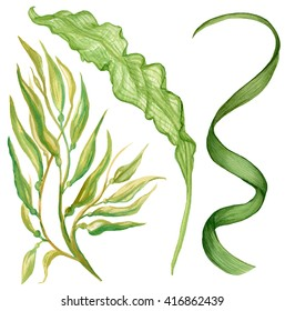 Watercolor illustration of seaweed