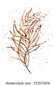Watercolor illustration of  seaweed Sargassum muticum