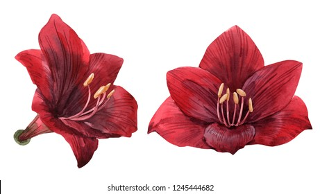 Watercolor illustration set of red flowers amaryllis