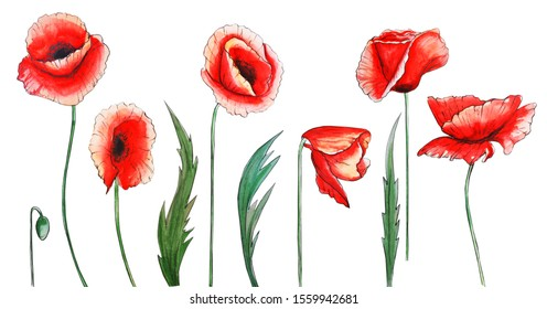 watercolor illustration set of red poppies with leaves on a white background