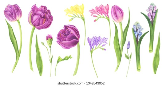 Watercolor illustration set of spring flowers: purple tulips, clematis, hyacinth, freesia and carnation. For design cards, pattern and textile.