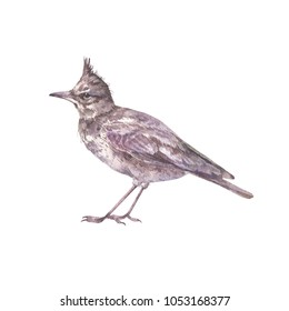 Watercolor illustration of a skylark. Isolated on white background.