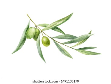 Watercolor illustration of a sprig of green olive. Figure. Botanical illustration.