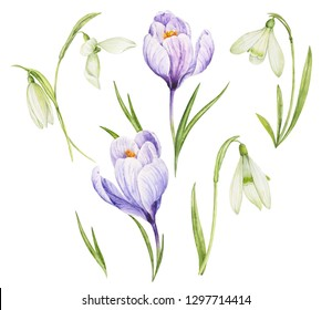 Watercolor illustration of spring flowers. Hands painted flowers of snowdrops and crocuses.