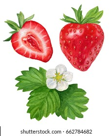 Watercolor illustration of strawberries. Whole and sliced strawberries. The berries, leaves and flower of the strawberry.