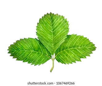 Watercolor illustration of strawberry leaves