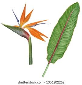Watercolor illustration of strelitzia reginae flower (bird of paradise) and leaf