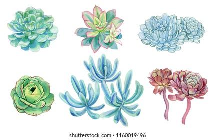 Watercolor illustration  succulent cactus plants echeveria cuspidata echeveria fascuosum  blue pink red green senecio ficoides blue isolated on white background aquarelle