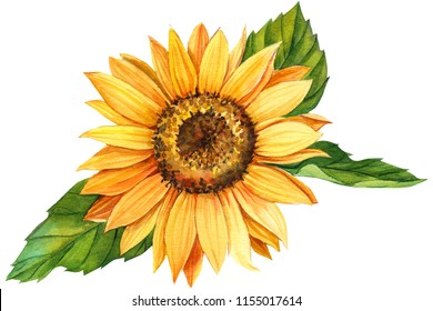 watercolor illustration, sunflower on isolated white background.