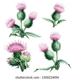 Watercolor illustration of a thistle set -pink flowers with green leaves. Medical wildflower herbs and a symbol of Schotland hand painted and isolated on white background.