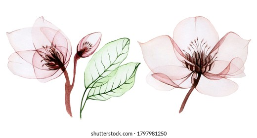 watercolor illustration of transparent flowers. set of transparent Helleborus flowers and leaves isolated on white background. flowers in pastel pink colors. for design of wedding, holiday. patterns