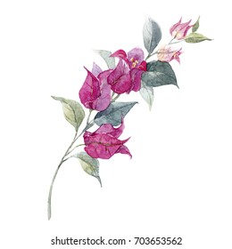 Watercolor illustration of a tropical  bougainvillea flower