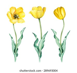 Watercolor illustration of tulips