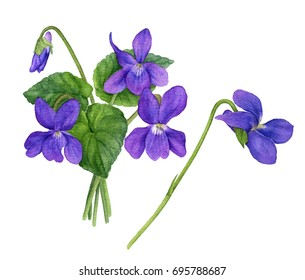 Watercolor illustration of violet flowers with leaves and buds. Bouquet of field violets.