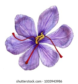 Watercolor illustration of a violet saffron inflorescence