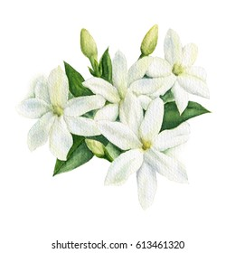 Watercolor illustration of white Jasmine flowers with leaves and buds