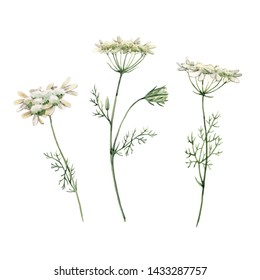 Watercolor illustration of white wildflowers, Queen Anne's Lace