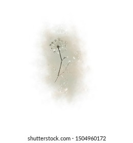 Watercolor illustration of a wild dill flower on a white background for cards, invitations, and other design.