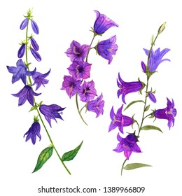 Watercolor illustration of wild flowers campanula