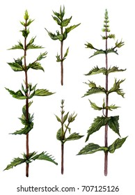 Watercolor illustration of wild mint or Mentha arvensis. Isolated image of green herb on white background