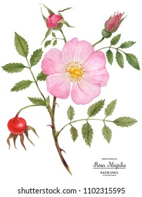 Watercolor illustration Wild Rose (Cinnamon Rose) flower, fruit and buds on a branch. Isolated, path included