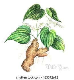 Watercolor illustration Wild Yam. Floral watercolor illustration.
