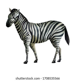 Watercolor illustration zebra standing on the side.
