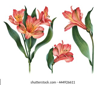 Watercolor illustrations of lily flowers