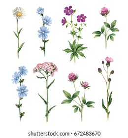 Watercolor illustrations of wild flowers
