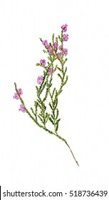 Watercolor image of branch of heather with flowers on white background