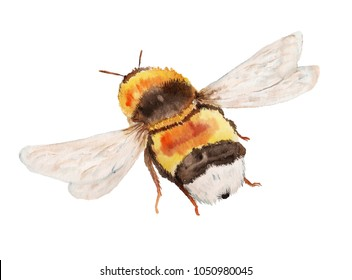 Watercolor image of flying bumble bee on white background