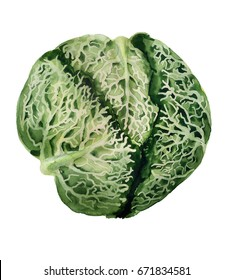 Watercolor image of savoy cabbage on white background