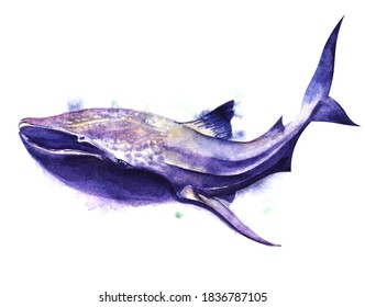 Watercolor image of spotted whale shark of blue-purple color on white background. Hand drawn illustration of biggest shark from all types. Dangerous sea predator
