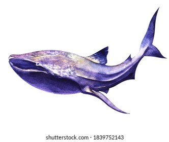 Watercolor image of spotted whale shark of blue-purple color isolated on white background. Hand drawn illustration of big shark with small wide-set eyes on wide head. Dangerous sea predator