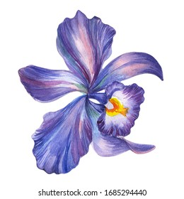 Watercolor iris flower Isolated on a white background.