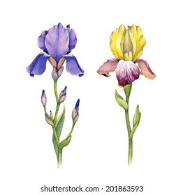 Watercolor iris flowers illustration on a white background