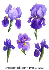 Watercolor irises, irises watercolor, watercolor sketch with flowers, spring irises flowers