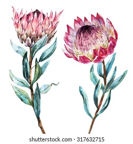 Watercolor isolated drawing exotic flower Protea flower Australia, watercolor illustration