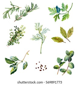 Watercolor isolated hand drawn herbs set. Rosemary, parsley, thyme,dill,  basil, bay, mint